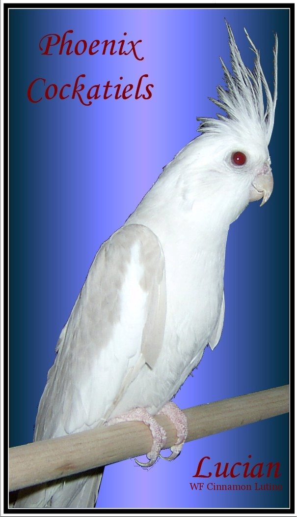 Phoenix Feathers Cockatiels